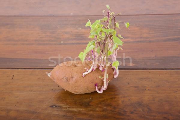 Potato sprouting Stock photo © zittto