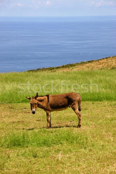 donkey Stock photo © zittto
