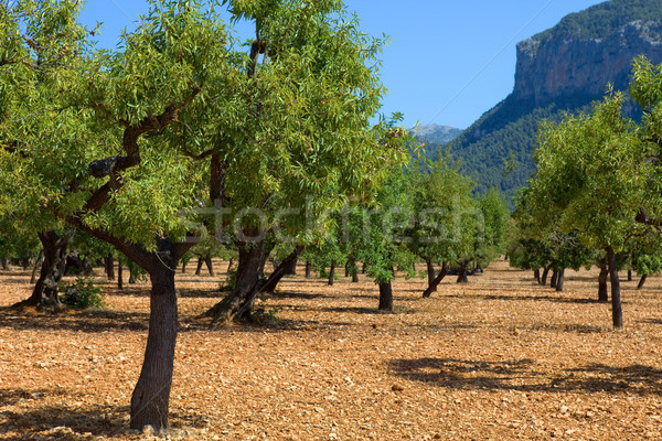 Olive trees Stock photo © zittto
