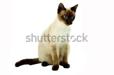 Beyaz kedi bakıyor doğru mavi genç Stok fotoğraf © zittto