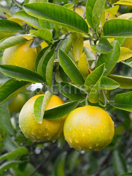 Japán citrus gyümölcs fa természet gyümölcs szín Stock fotó © zkruger