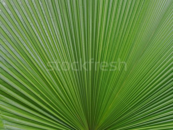 palm leaf texture background Stock photo © zkruger
