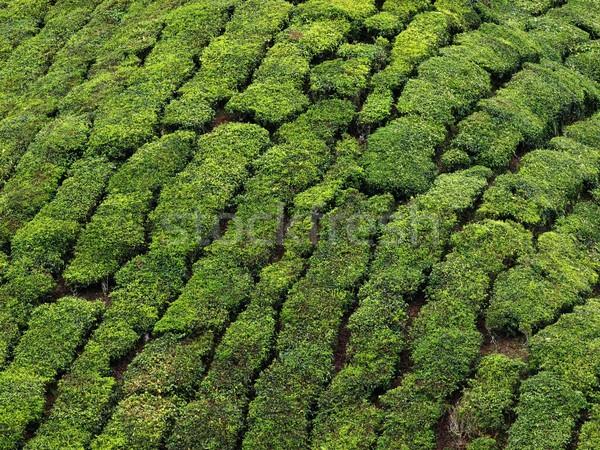 Tierras altas té plantación Malasia Foto stock © zkruger