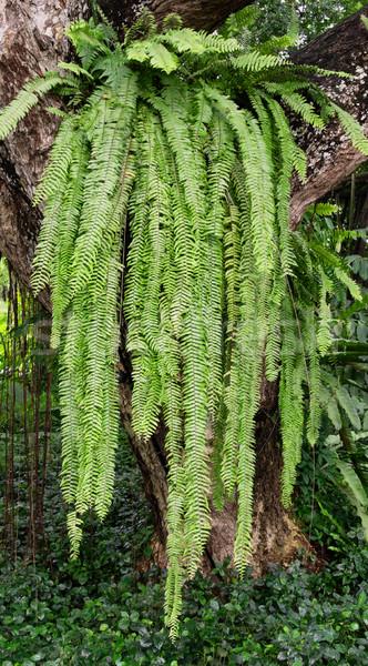 huge fern plant Stock photo © zkruger