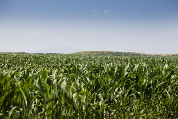 Kukoricamező nyár textúra tájkép természet levél Stock fotó © zolnierek