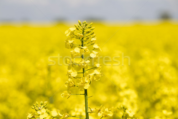 Stock photo: Rapeseed field.