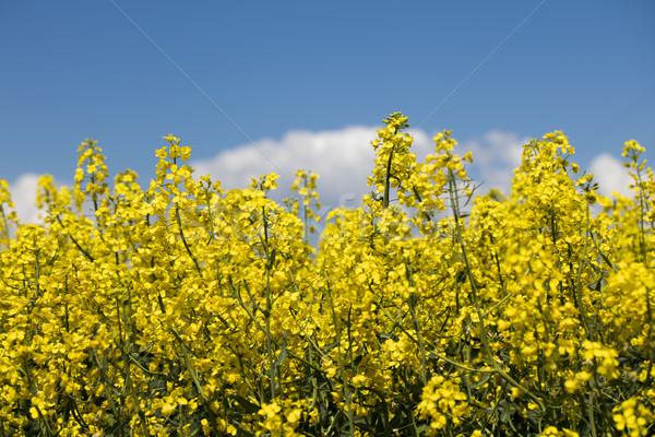 Stock photo: Rapeseed field.