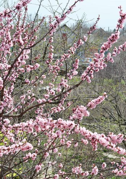 blossomed  apricot tree Stock photo © zoryanchik