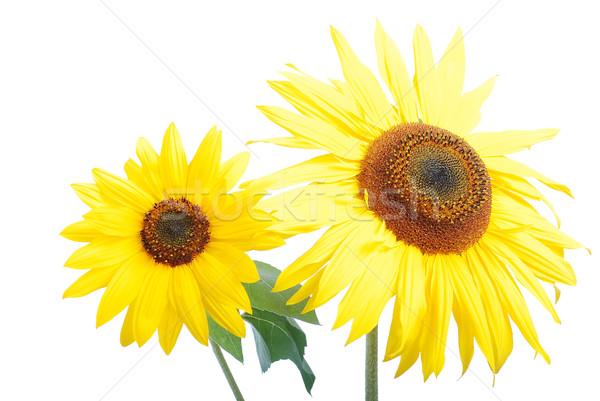 Beautiful yellow flower, colorful sunflower Stock photo © zurijeta