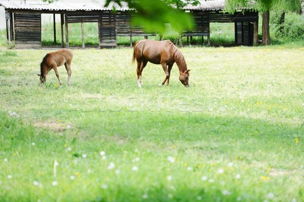 Horses on field Stock photo © zurijeta