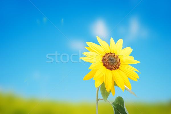 Beautiful yellow flower, colorful sunflower outdoor Stock photo © zurijeta