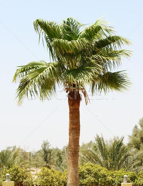 Palmier feuille Palm vert bois date Photo stock © zurijeta