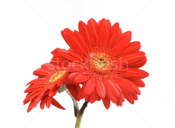 Gerbera flower isolated on white Stock photo © zurijeta