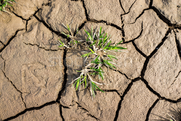Bitki büyüyen çatlamak kuru zemin doku Stok fotoğraf © zurijeta