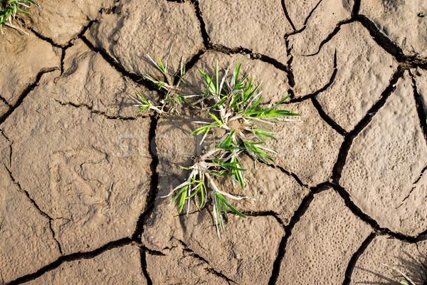 Planta crescente rachar secar terreno textura Foto stock © zurijeta