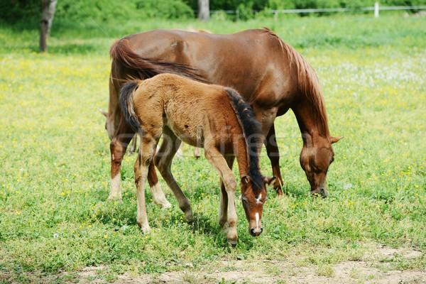 Csikó kanca mező fű természet ló Stock fotó © zurijeta