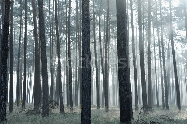 Mystic forest, sun rays entering trough the fog Stock photo © zurijeta