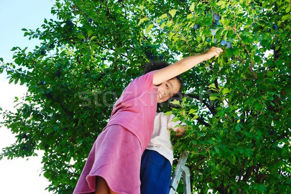 Children taking off the plum in vintage Stock photo © zurijeta