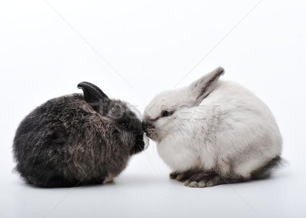 ウサギ 白 2 ウサギ 家族 ストックフォト © zurijeta