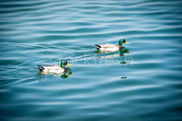 Two duck on the lake Stock photo © zurijeta