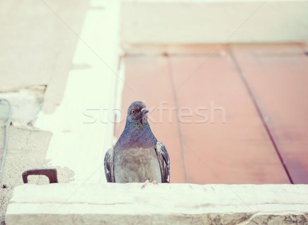 Pigeon on window in Venice Stock photo © zurijeta