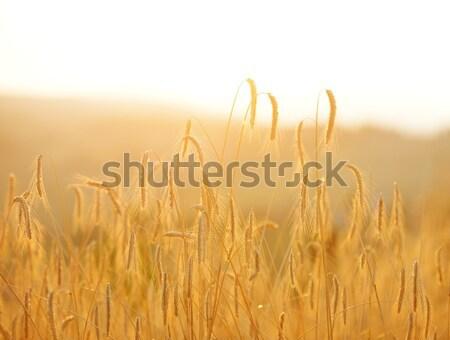 Campo di grano sole panorama luce campo pane Foto d'archivio © zurijeta