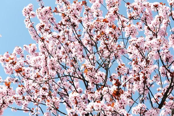Peach blossom in spring Stock photo © zurijeta