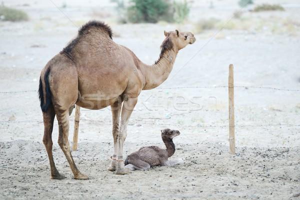 Seven deve anne bebek aile göz Stok fotoğraf © zurijeta