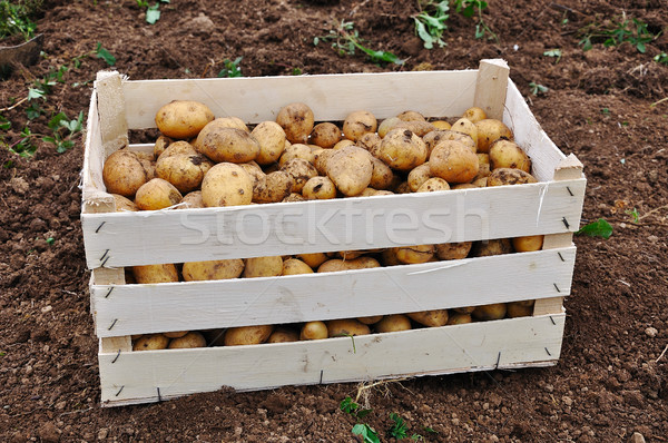 Collected potato after fall vintage on ground Stock photo © zurijeta