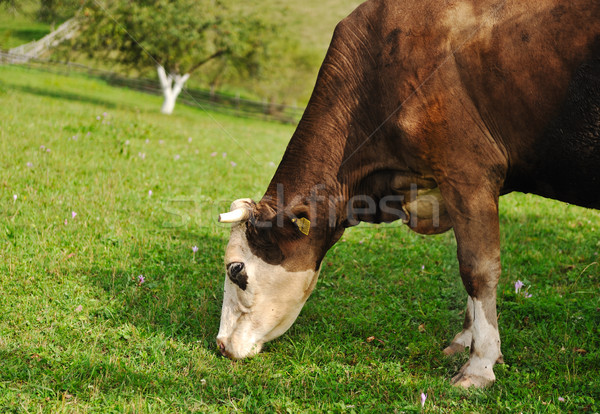 Cow eating grass  Stock photo © zurijeta