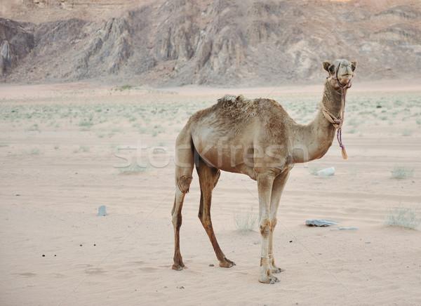 Teve sivatag nap természet homok fej Stock fotó © zurijeta