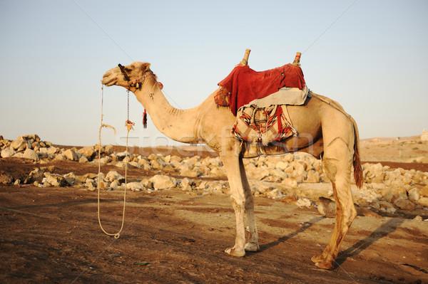Camel Stock photo © zurijeta