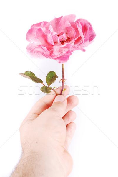 Rose in hand Stock photo © zurijeta