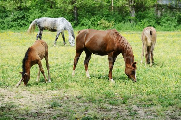 Foal and mare in a field Stock photo © zurijeta