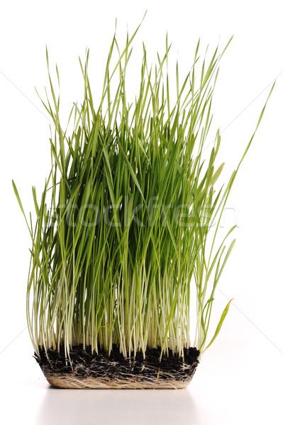 Erba verde impianto radici muffa isolato alimentare Foto d'archivio © zurijeta