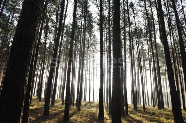мистик лес солнце Лучи тумана утра Сток-фото © zurijeta