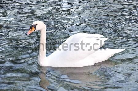 Belo cisne lago água pássaro preto Foto stock © zurijeta