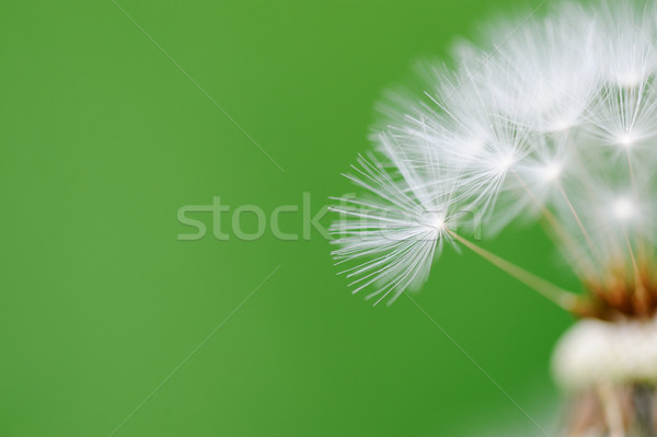 Closeup image of a blown dandelion seed Stock photo © zurijeta