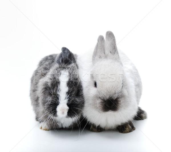 Küçük tavşan beyaz iki tavşanlar aile Stok fotoğraf © zurijeta