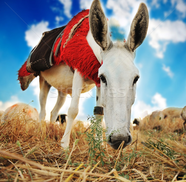 Donkey Stock photo © zurijeta