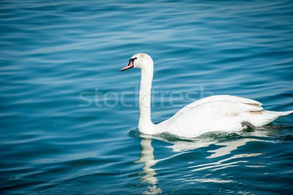 лебедя озеро воды закат природы птица Сток-фото © zurijeta