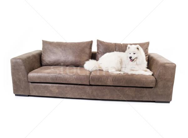 Сток-фото: диван · изолированный · белый · собака · моде · дизайна