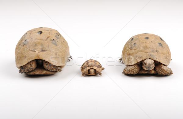 Kaplumbağalar aile beyaz bebek çocuk vücut Stok fotoğraf © zurijeta