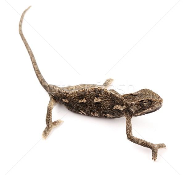 Piękna duży Chameleon posiedzenia biały charakter Zdjęcia stock © zurijeta