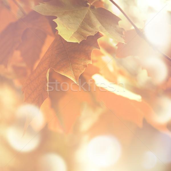 осень клен листьев мягкой свет bokeh Сток-фото © zven0