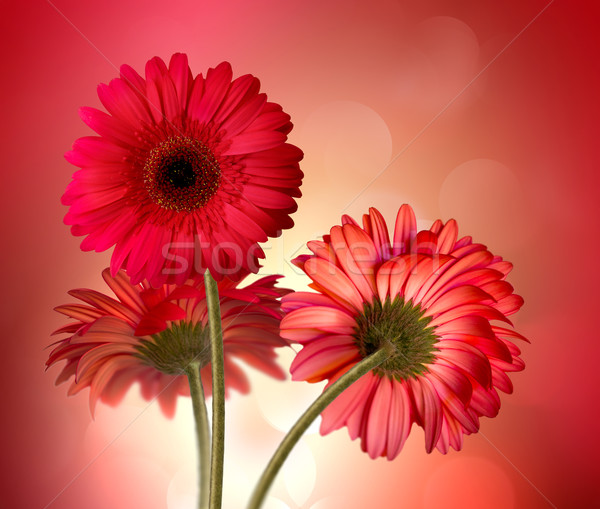 gerbera flowers Stock photo © zven0