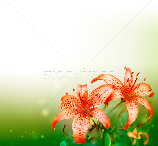 red lilies Stock photo © zven0