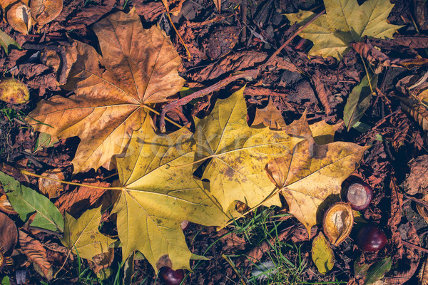 autumn leaves Stock photo © zven0