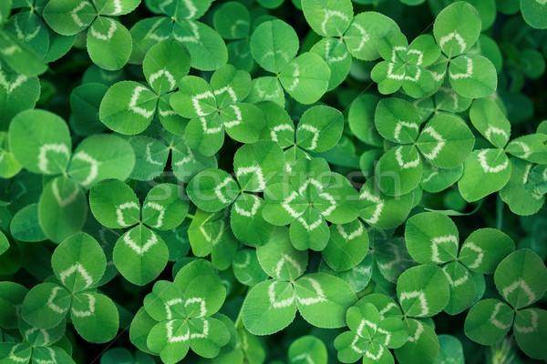 clover leaves full screen  Stock photo © zven0