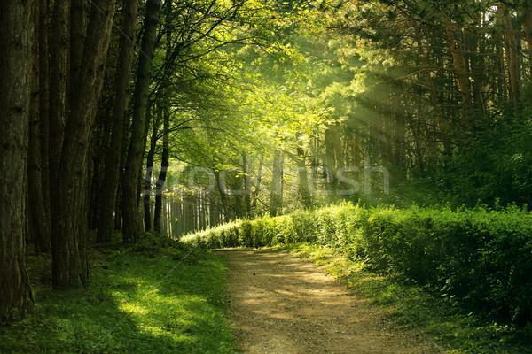 Stock fotó: Nyár · erdő · zöld · nap · természet · fény